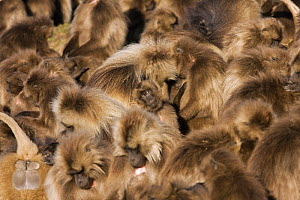 Gelada baboon (Theropithecus gelada) group huddled together, resting and grooming in the early morning, Simien Mountains National Park, Ethiopia, November  -  Anup Shah