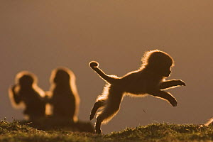 Gelada baboon (Theropithecus gelada) juvenile playing in early evening light, Simien Mountains National Park, Ethiopia, November  -  Anup Shah
