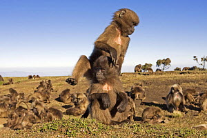 Two Gelada baboon (Theropithecus gelada) juveniles playing, Simien Mountains National Park, Ethiopia, November  -  Anup Shah
