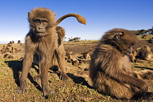 Two Gelada baboon (Theropithecus gelada) juveniles, one looking curiously, Simien Mountains National Park, Ethiopia, November  -  Anup Shah