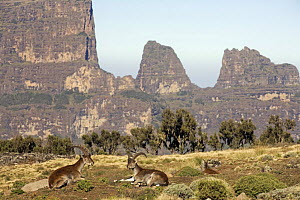 Walia ibex (Capra walie) pair resting, Simien Mountains National Park, Ethiopia, November, endangered species  -  Anup Shah