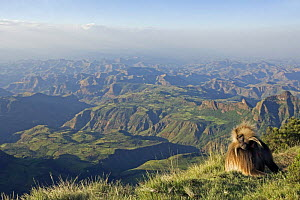 Gelada baboon (Theropithecus gelada) male sitting on cliff edge against backdrop of Simien Mountains, Simien Mountains National Park, Ethiopia, November  -  Anup Shah