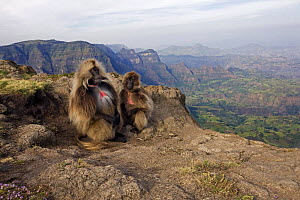 Gelada baboon (Theropithecus gelada) pair sitting on cliff edge, Simien Mountains National Park, Ethiopia, November  -  Anup Shah