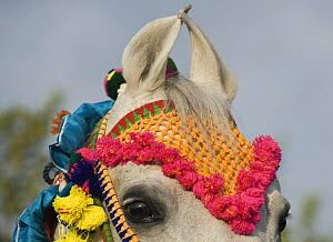 Close up of the curved ears of a grey Marwari mare in traditional colourful bridle, Bhavnagar, Gujarat, India, 2008  -  Kristel Richard