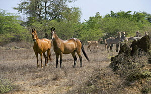 Two Kathiawari mares, one chestnut, one bay, in field with herd of Nilgai in the background, National Stud, Inaj, Gujarat, India, 2008 - Kristel Richard