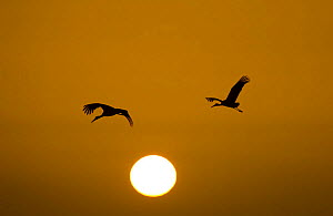 Silhouette of White storks (Ciconia ciconia) in flight at dusk / dawn, Andalucia, Spain, January 2008 - Juan Carlos Munoz