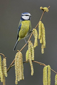 Blue tit (Parus caeruleus) perched on twig with catkins, Essex, UK, February  -  Alan Williams