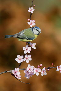 Blue tit (Parus caeruleus) perched on blossom covered twig, Essex, UK, March - Alan Williams