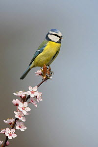 Blue tit (Parus caeruleus) calling, perched on blossom covered twig, Essex, UK, March  -  Alan Williams