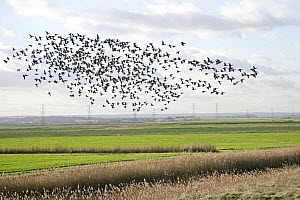 Brent geese (Branta bernicla) flock flying over farmland, Whitstable, Kent, UK, January  -  Alan Williams
