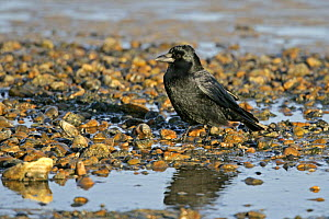 Carrion crow (Corvus corone) on stony beach, Whitstable Bay, Kent, UK, January  -  Alan Williams
