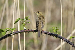 Rear view of Grasshopper warbler (Locustella naevia) on bramble, Cheshire, UK, May  -  Alan Williams