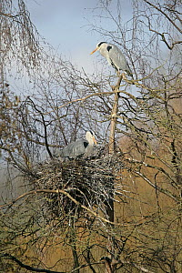 Grey heron (Ardea cinerea) pair at nest, lower bird adding twig to nest, Midlands, UK, February  -  Alan Williams