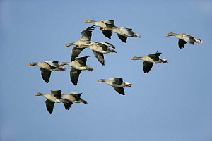 Greylag goose (Anser anser) flock in flight, Welney, WWT, Norfolk, UK, November - Alan Williams