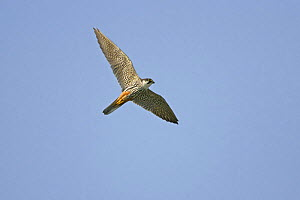 Hobby (Falco subbuteo) in flight, Minsmere RSPB reserve, Suffolk, UK, July - Alan Williams