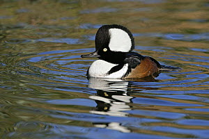 Male Hooded merganser (Lophodytes cucullatus) with hood raised, captive, Norfolk, UK November - Alan Williams