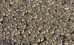 Knot (Calidris canutus) roosting in tight packed flock on shore in winter plumage, Liverpool Bay, UK, November - Alan Williams