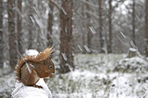 Red squirrel (Sciurus vulgaris) in snow laden forest, Cairngorms National Park, Scotland, March 2007  -  Wild Wonders of Europe / Cairns
