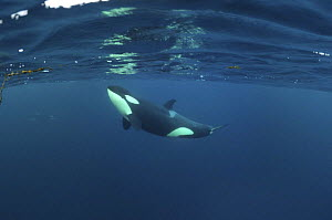 Killer whale / Orca (Orcinus orca) just below the surface, Kristiansund, Nordm�re, Norway, February 2009  -  Wild Wonders of Europe / Aukan