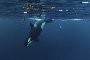 Killer whale / Orca (Orcinus orca) diving, Kristiansund, Nordm�re, Norway, February 2009  -  Wild Wonders of Europe / Aukan