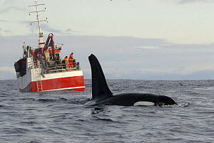 Killer whale / Orca (Orcinus orca) at surface in front of a herring fishing boat, Kristiansund, Nordm�re, Norway, February 2009  -  Wild Wonders of Europe / Aukan