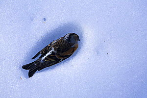 Dead Brambling (Fringilla montifringilla) in snow, L�dersdorf, Austria, February 2009  -  Wild Wonders of Europe / Novák