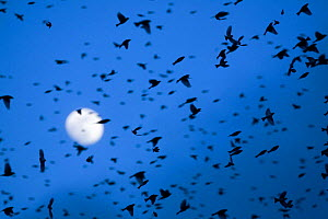 Large flock of Bramblings (Fringilla montifringilla) in flight at dusk, in front of the moon, L�dersdorf, Austria, February 2009  -  Wild Wonders of Europe / Novák