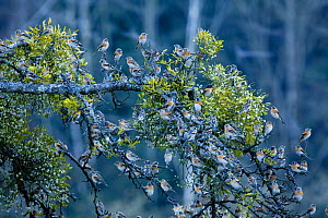 Large flock of Bramblings (Fringilla montifringilla) perched in tree with Mistletoe, L�dersdorf, Austria, February 2009  -  Wild Wonders of Europe / Novák