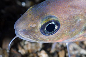 Poor cod (Trisopterus minutus) portrait,  Trondheimsfjorden, Norway, February 2009  -  Wild Wonders of Europe / Lundgren