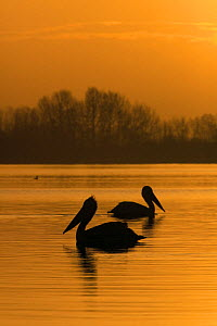 Two Dalmatian pelicans (Pelecanus crispus) on Lake Kerkini at sunrise, Macedonia, Greece, February 2009  -  Wild Wonders of Europe / Peltomäki