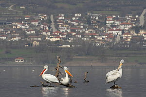 Three Dalmatian pelicans (Pelecanus crispus) on dead wood sticking out of Lake Kerkini, Macedonia, Greece, February 2009  -  Wild Wonders of Europe / Peltomäki