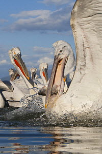 Dalmatian pelican (Pelecanus crispus) with fish in beak, Lake Kerkini, Macedonia, Greece, February 2009  -  Wild Wonders of Europe / Peltomäki