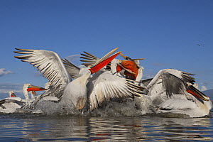Dalmatian pelicans (Pelecanus crispus) sqabbling over fish being thrown to them, Lake Kerkini, Macedonia, Greece, February 2009  -  Wild Wonders of Europe / Peltomä