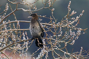 Pygmy cormorant (Microcarbo pygmeus) perched on branch in willow tree, Lake Kastoria, Macedonia, Greece, February 2009  -  Wild Wonders of Europe / Peltomäki