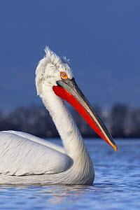 Dalmatian pelican (Pelecanus crispus) portrait, on Lake Kerkini, Macedonia, Greece, February 2009  -  Wild Wonders of Europe / Peltomäki
