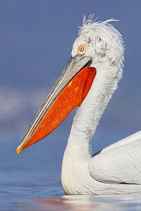 Dalmatian pelican (Pelecanus crispus) portrait, Lake Kerkini, Macedonia, Greece, February 2009  -  Wild Wonders of Europe / Peltomäki