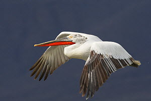 Dalmatian pelican (Pelecanus crispus) in flight, Lake Kerkini, Macedonia, Greece, February 2009  -  Wild Wonders of Europe / Peltomäki