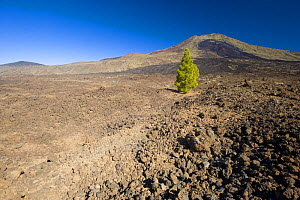 Single Canary pine tree (Pinus canariensis) growing in lava field of the Pico Viejo Volcano, Teide National Park, Tenerife, Canary Islands, Spain, December 2008 - Wild Wonders of Europe / Relanzón