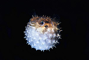 Orbicular burrfish / Short-spined porcupinefish (Cyclichthys orbicularis) puffed up with water, Lembeh Strait, Celebes Sea, Sulawesi, Indonesia.  -  Jeff Rotman