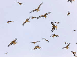 Large group of Red kites (Milvus milvus) in flight waiting to be fed at Gigrin Farm, Powys, Rhayader, Wales, UK, February 2009 - Wild Wonders of Europe / Muñoz