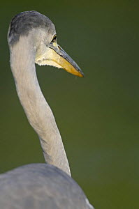 Rear view of Grey heron (Ardea cinerea) Elbe Biosphere Reserve, Lower Saxony, Germany, August 2008  -  Wild Wonders of Europe / Damschen