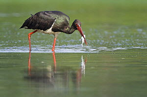 Black stork (Ciconia nigra) with fish in beak, Elbe Biosphere Reserve, Lower Saxony, Germany, September 2008 - Wild Wonders of Europe / Damschen