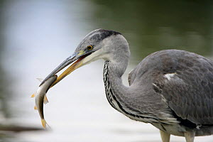 Grey heron (Ardea cinerea) with fish in beak, Elbe Biosphere Reserve, Lower Saxony, Germany, September 2008  -  Wild Wonders of Europe / Damschen