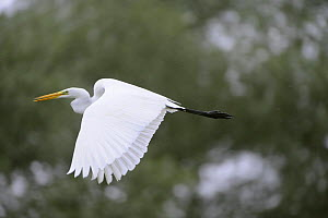 Great egret (Ardea alba) in flight, Elbe Biosphere Reserve, Lower Saxony, Germany, September 2008  -  Wild Wonders of Europe / Damschen