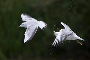 Two Black-headed gulls (Chroicocephalus ridibundus) in flight, one shaking its head, Elbe Biosphere Reserve, Lower Saxony, Germany, September 2008 - Wild Wonders of Europe / Damschen
