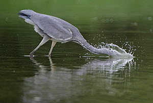 Grey heron (Ardea cinerea) with head in water fishing, Elbe Biosphere Reserve, Lower Saxony, Germany, September 2008 - Wild Wonders of Europe / Damschen