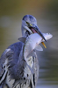 Grey heron (Ardea cinerea) with fish in beak, Elbe Biosphere Reserve, Lower Saxony, Germany, September 2008 - Wild Wonders of Europe / Damsche