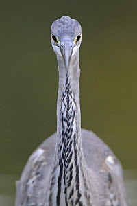 Grey heron (Ardea cincerea) head on portrait, Elbe Biosphere Reserve, Lower Saxony, Germany, September 2008 - Wild Wonders of Europe / Damschen