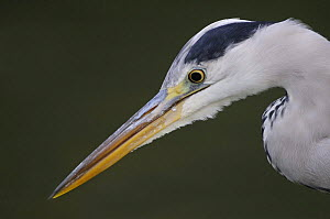 Grey heron (Ardea cinerea) profile of head and beak, Elbe Biosphere Reserve, Lower Saxony, Germany, September 2008  -  Wild Wonders of Europe / Damschen