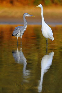 Great egret (Ardea alba) and a Grey heron (Ardea cinerea) standing in water, Elbe Biosphere Reserve, Lower Saxony, Germany, September 2008 - Wild Wonders of Europe / Damschen